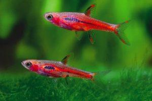 chili-rasbora-fish