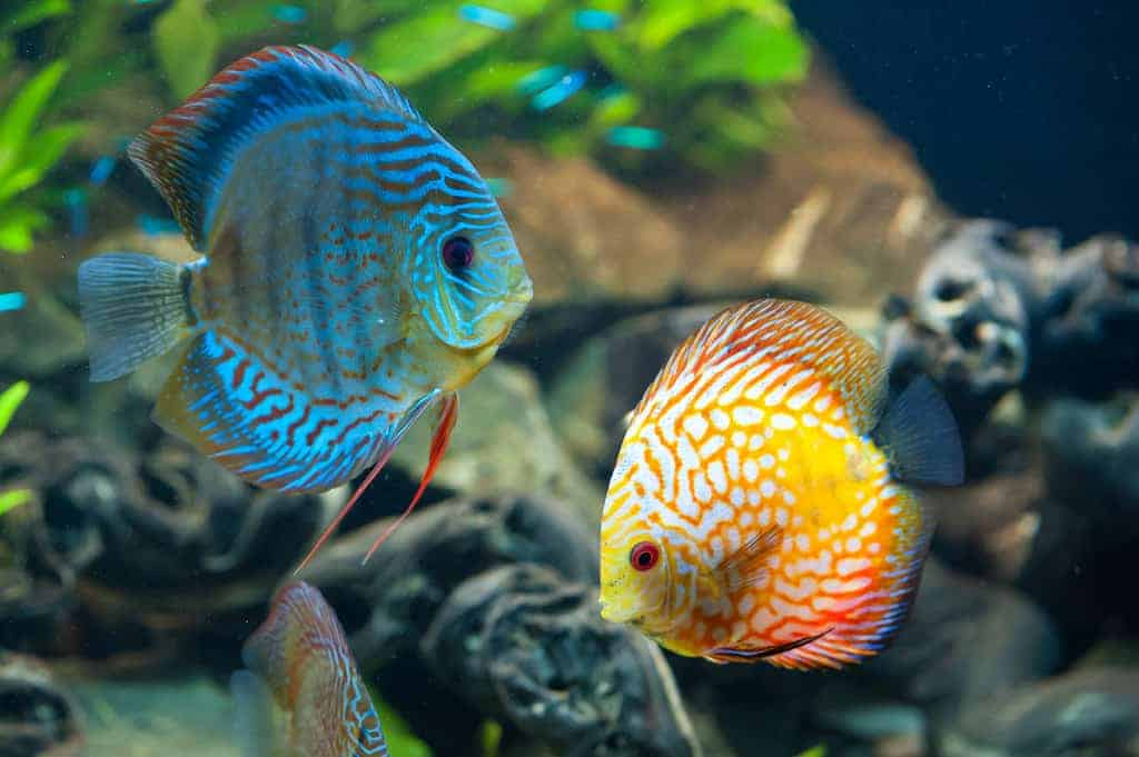 discus-fish-appearance