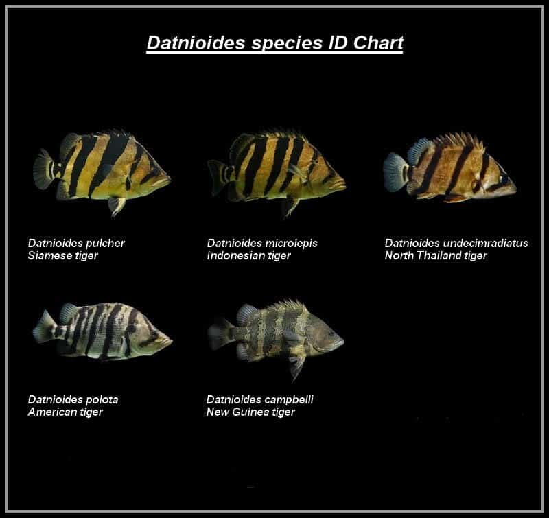 datnoid-species-chart