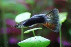 guppies-beginner-fish