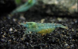 breeding-freshwater-dwarf-shrimp