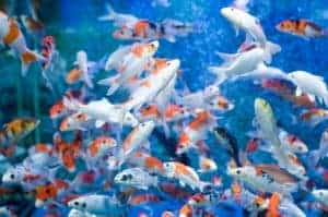 overcrowded-fish-tank