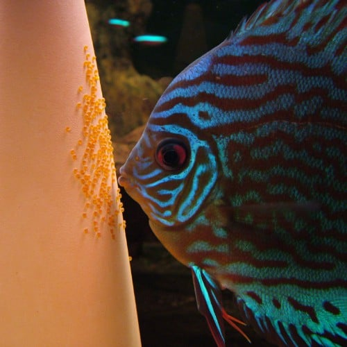 discus-fish-breeding