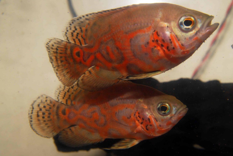 stressed-cichlids