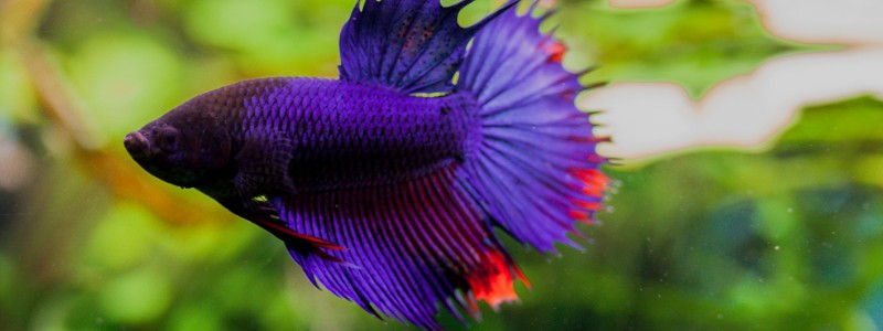 betta-fish-care