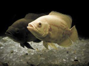 oscar-fish-tank-mates
