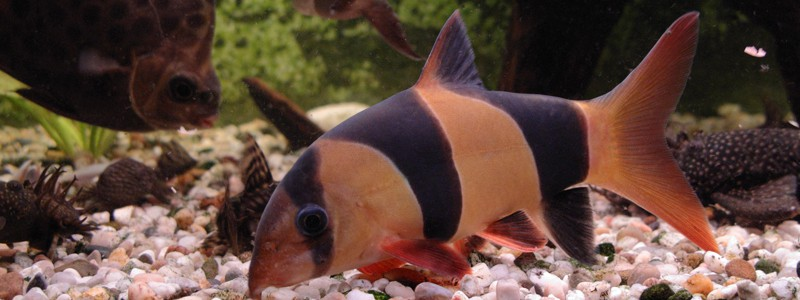 clown-loach-care