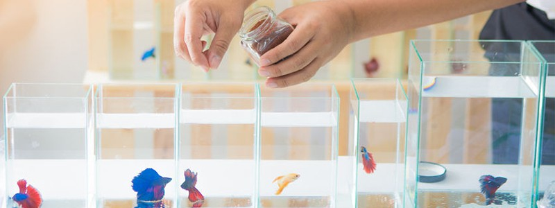 how-much-should-you-feed-a-betta-fish
