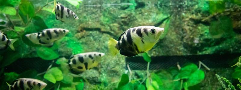 archer-fish-care