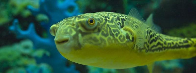 fahaka-pufferfish-care