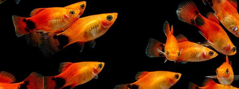 molly-fish-care