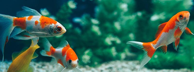 why-do-goldfish-turn-white