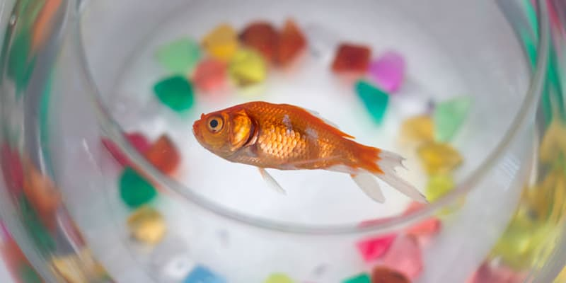 why-do-my-goldfish-die-so-fast