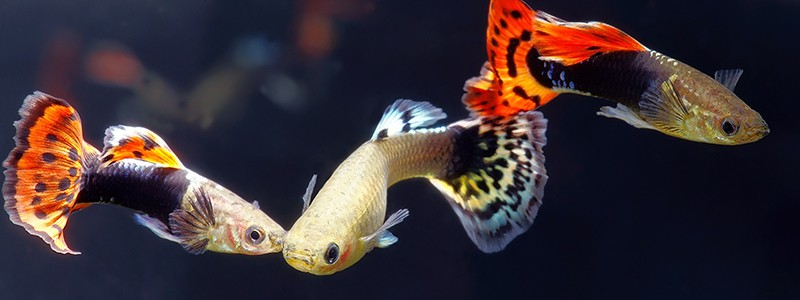 guppies-as-pets