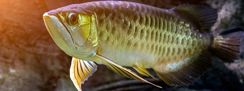 why-are-asian-arowanas-illegal