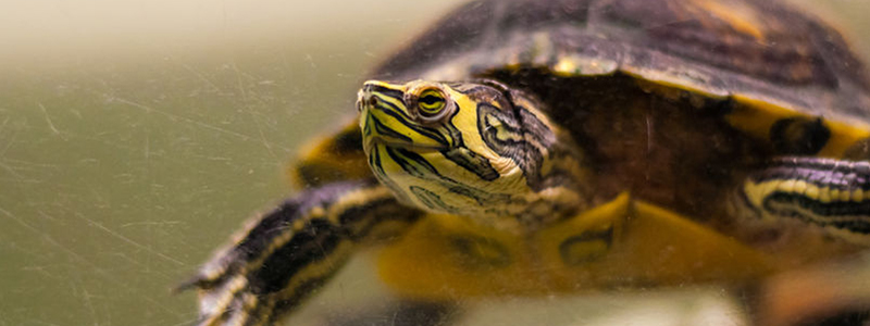 what-fish-can-live-with-turtles