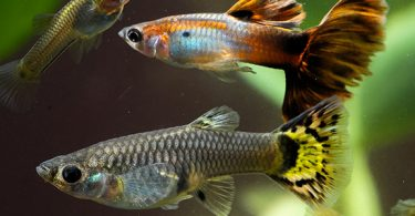 can-different-types-of-guppies-breed