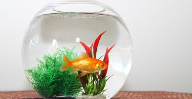 can-goldfish-live-in-a-bowl