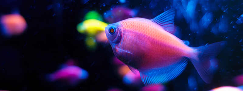 how-are-glofish-made