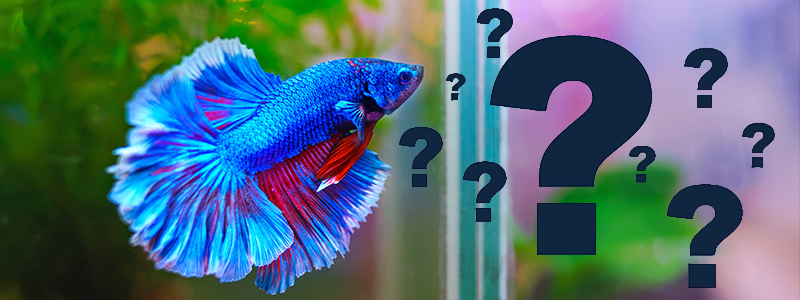 how-long-can-betta-fish-live-without-food
