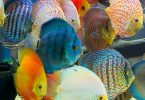 are-cichlids-hard-to-care-for