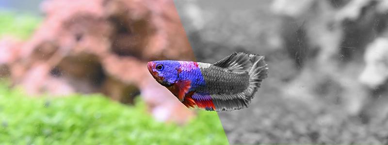 do-betta-fish-need-a-light