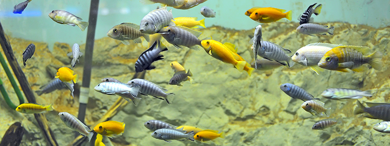 cichlids-chasing-each-other