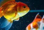 how-big-do-goldfish-get